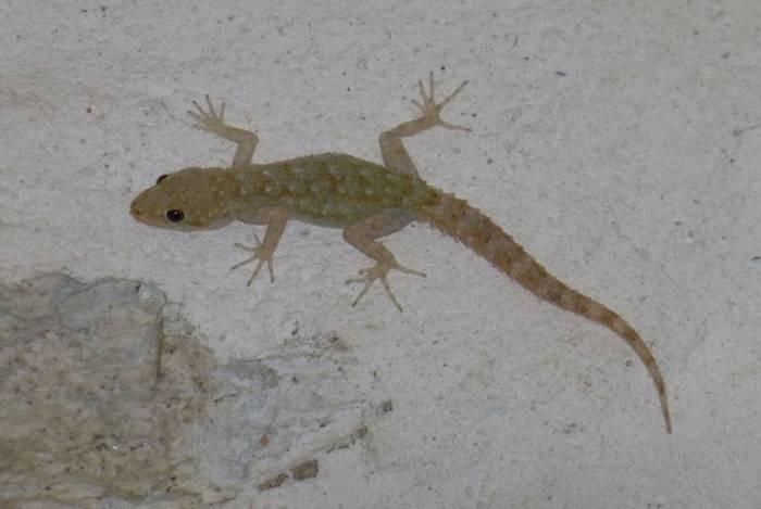 Kotschy's Gecko (Kiff Hancock)