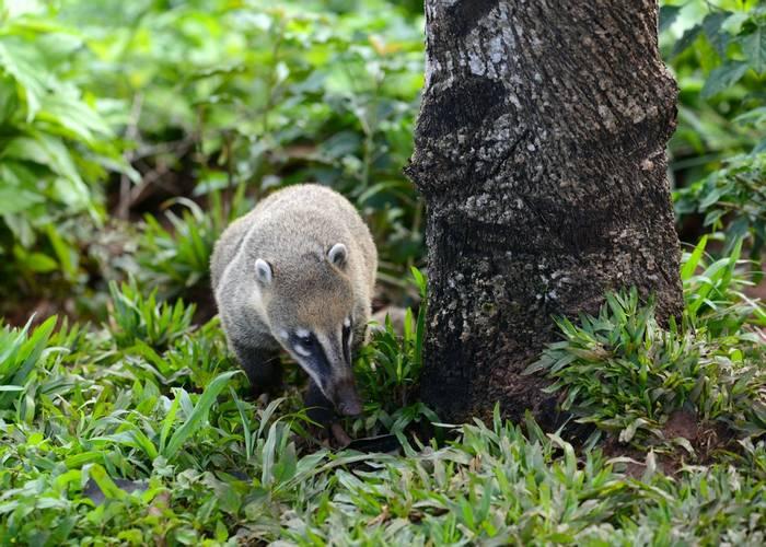 South American Coati (Stephen Woodham)