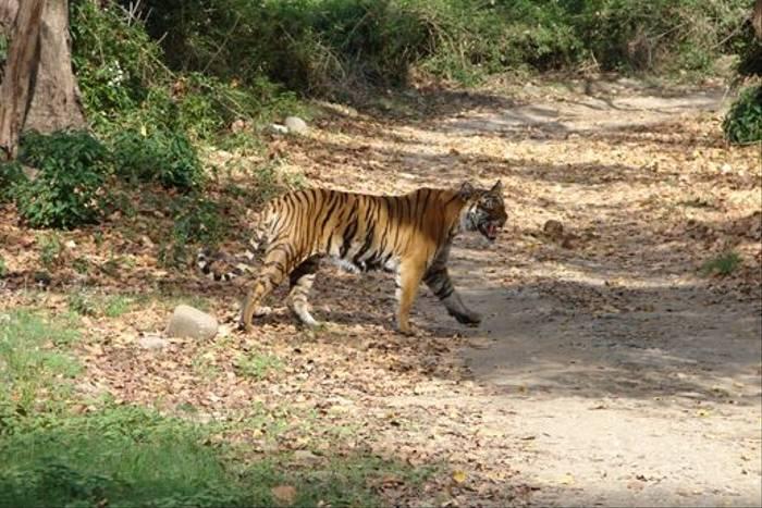 Bengal Tiger (Hem Sagar Baral)
