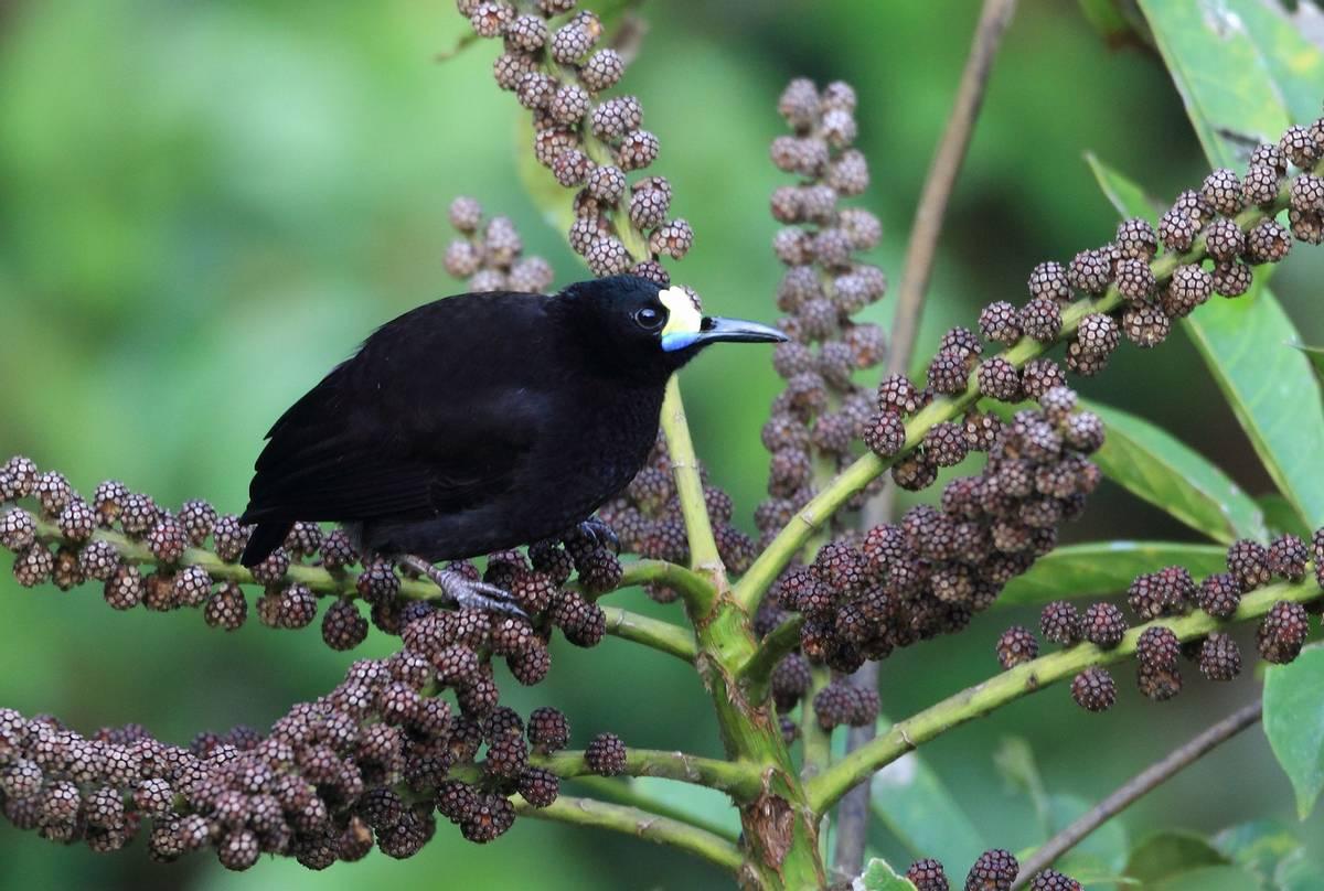 Short-tailed-Paradigalla,-Papua-New-Guinea-shutterstock_223496170.jpg