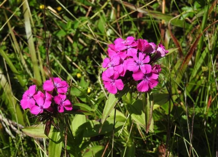 DSCN9280 Dianthus Barbatus