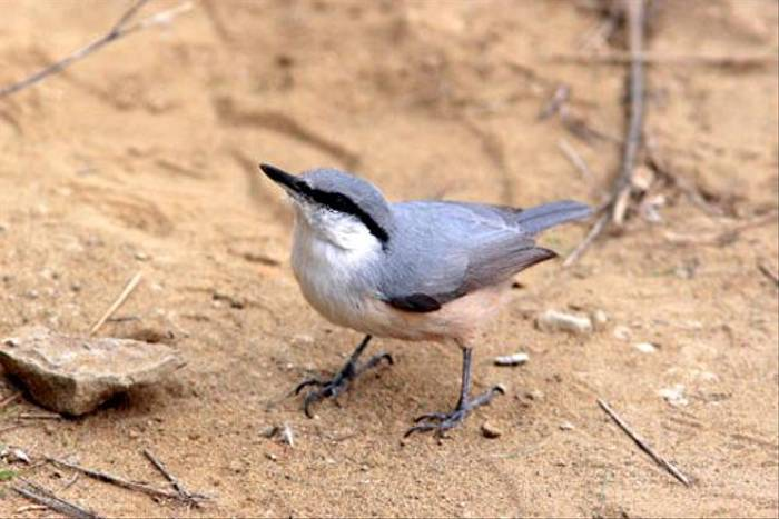Eastern Rock Nuthatch (Giorgo Darchiashvili)