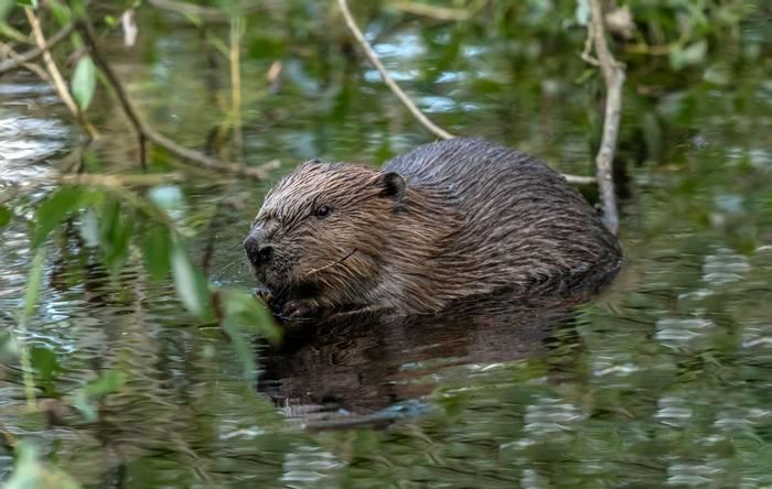 Beaver, Scotland shutterstock_1137219233.jpg