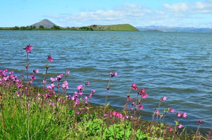 Red Campion by Myvatn by D Phillips.JPG