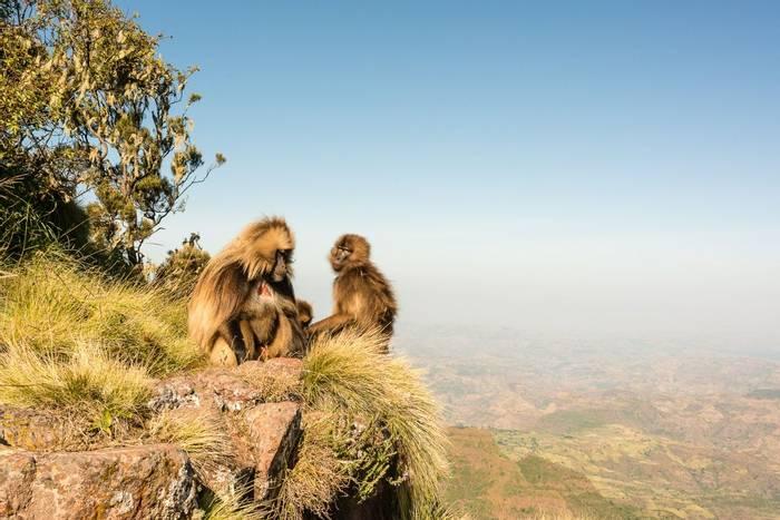 Gelada Baboon, Simien Mountains NP Shutterstock 486651787