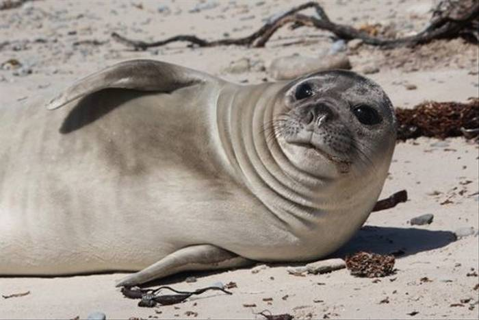 Southern Elephant Seal pup (Alan Henry)