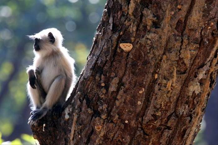 Common Langur (Michael Haley)