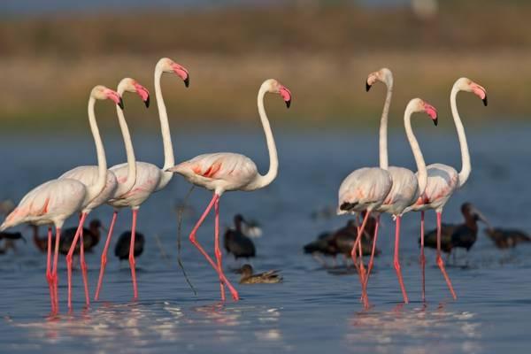 Greater Flamingo shutterstock_1657282333.jpg