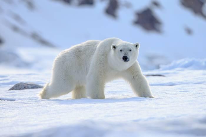 Polar Bear shutterstock_630373091.jpg