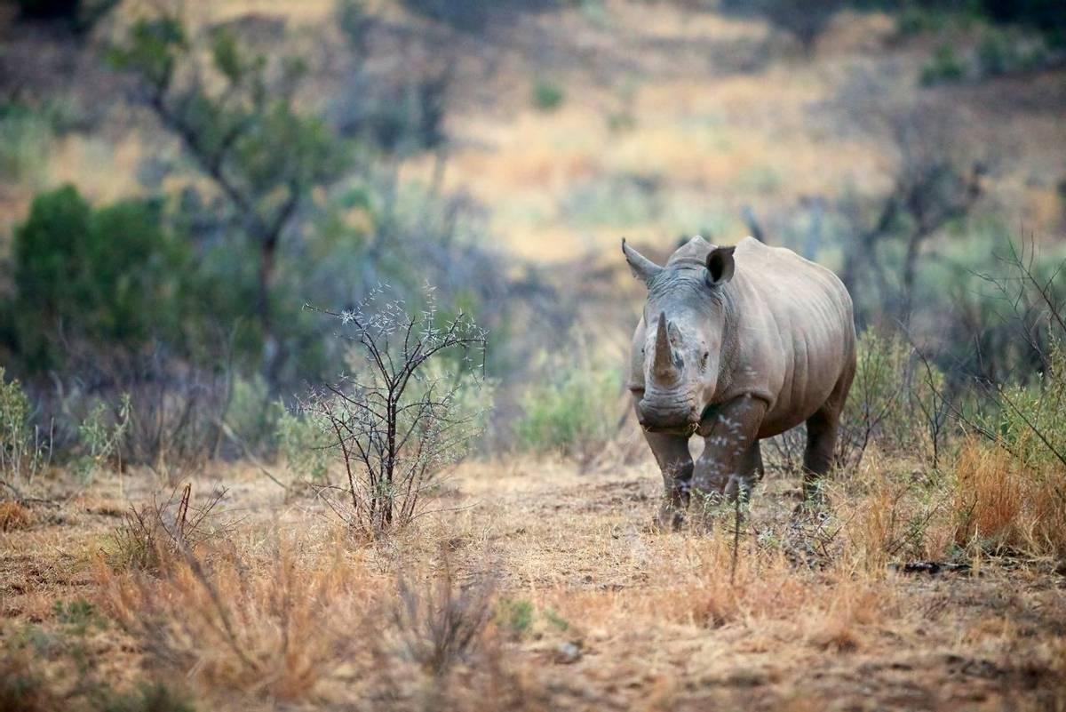 South Africa – Drakensberg & Zululand – Wildlife – White Rhino - AdobeStock_86562778.jpeg