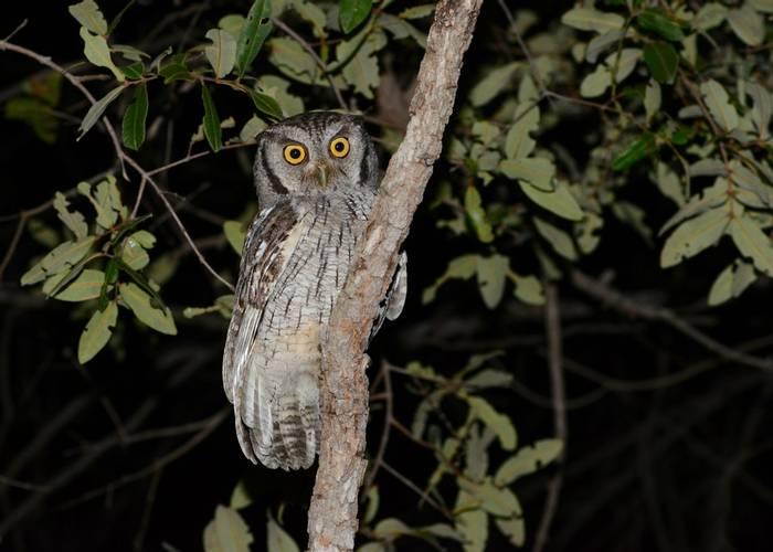 Tropical Screech Owl (Stephen Woodham)
