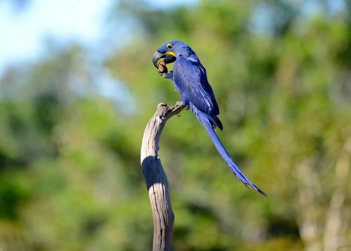 Hyacinth Macaw (Stephen Woodham)