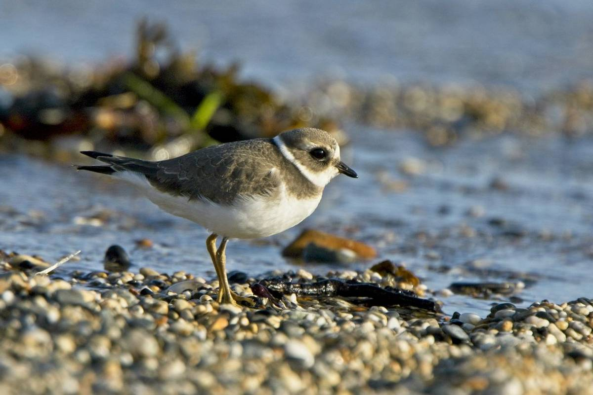 Common Ringed Plover, (Charadrius hiaticula), juvenile on the beach, Cornwall, England, UK.