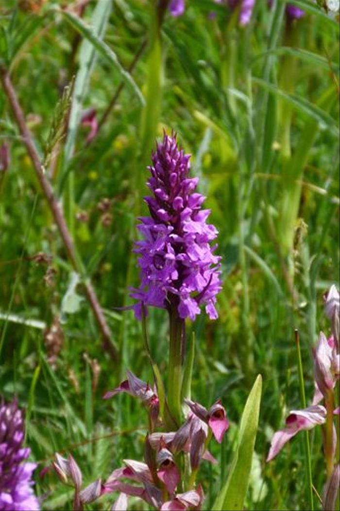 Spotted Orchid and Tounge Orchid (Tom McJannet)
