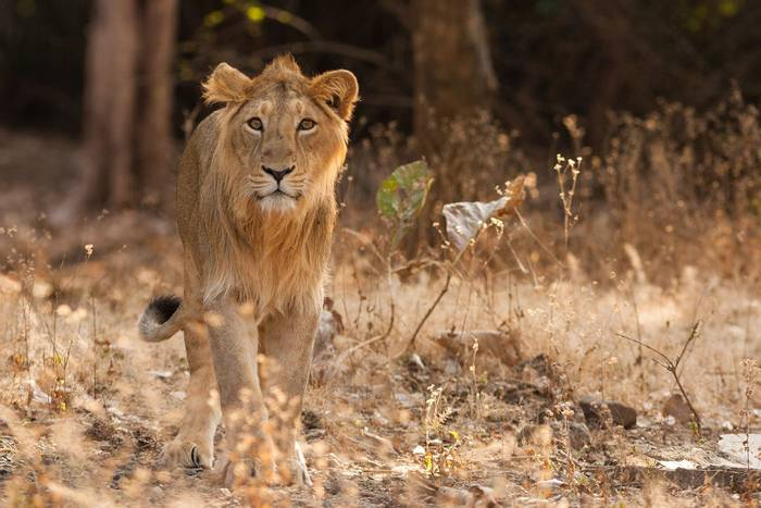 Asiatic-Lion,-India-shutterstock_1188370081.jpg