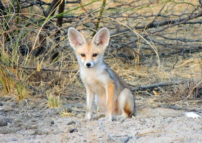 Desert Fox (Wendy Schmitt)