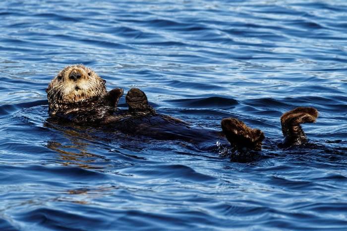 Sea Otter (Martin Potter)
