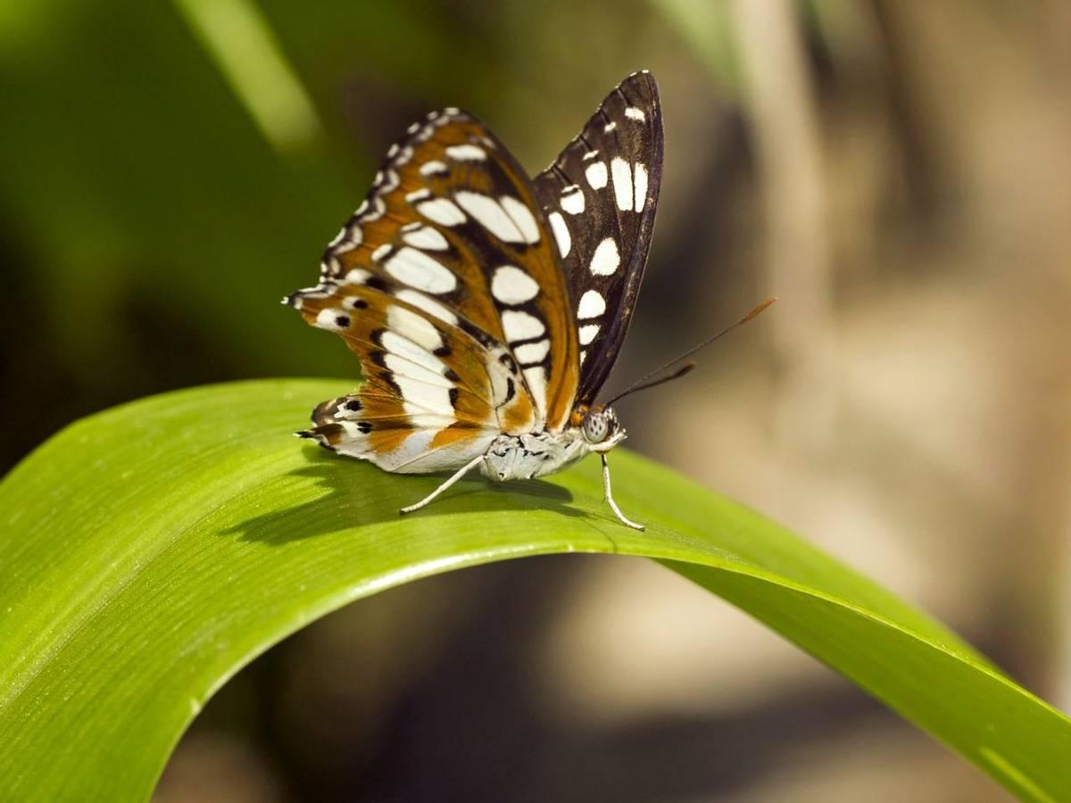Hungarian Glider Butterfly Shutterstock 237209674