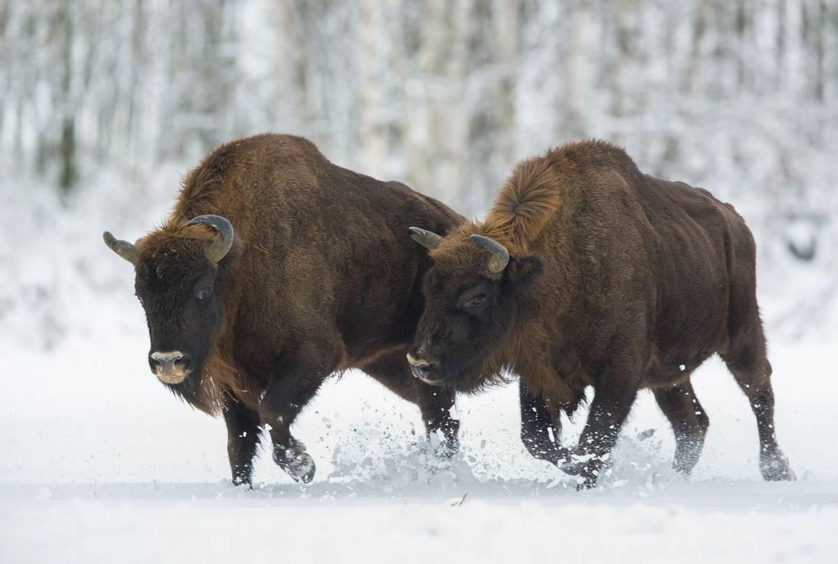 European Bison Shutterstock 665260618