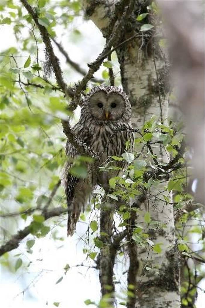 Ural Owl (Gordon Small)