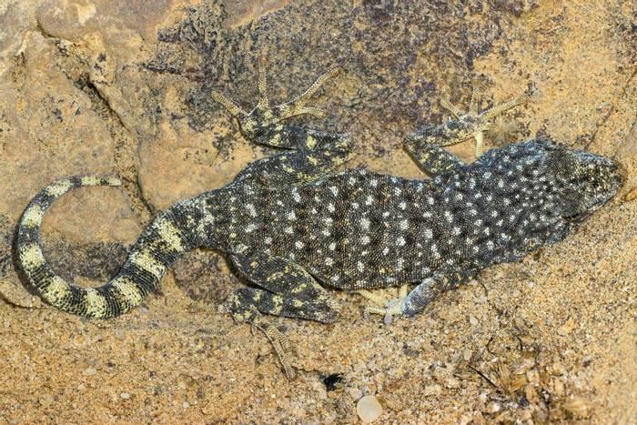Namib Day Gecko (Rhoptropus afer)