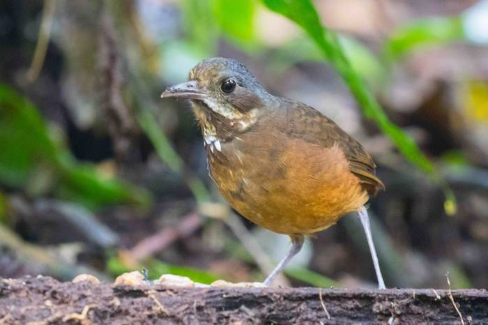 Moustached Antpitta (Chris Hutchinson)