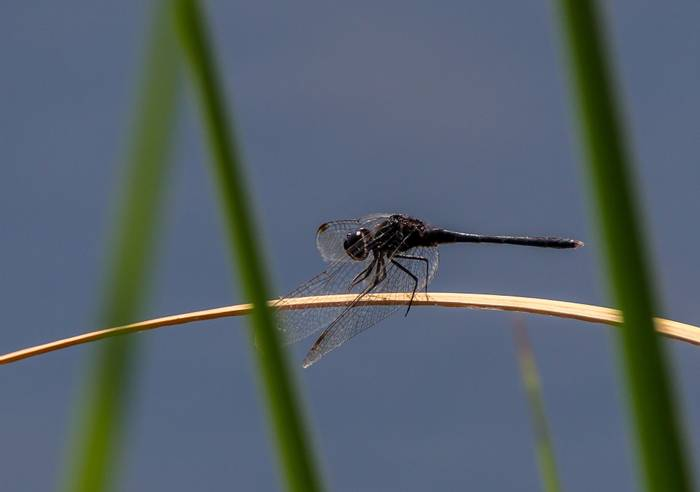Black Percher dragonfly, Spain shutterstock_1431567509.jpg
