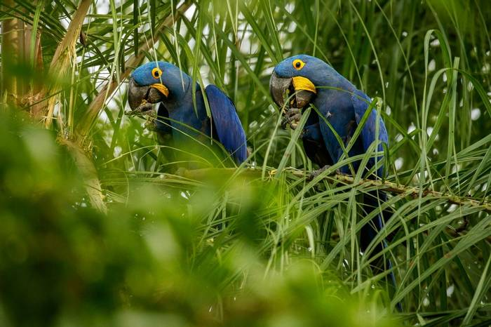 Hyacinth Macaws, Brazil Shutterstock 1080116525