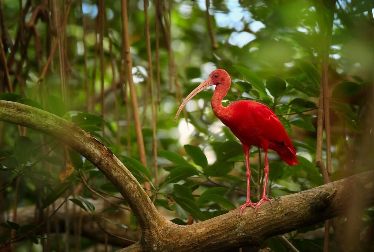 Scarlet Ibis, Trinidad And Tobago Shutterstock 348348506