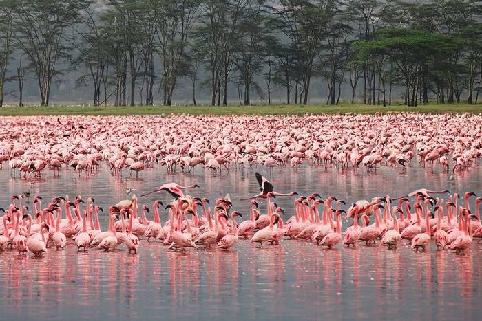 Flamingos, Lake Nakuru2, Kenya Shutterstock 108443474