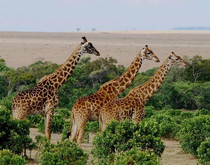 3 Giraffs, Masai Mara.