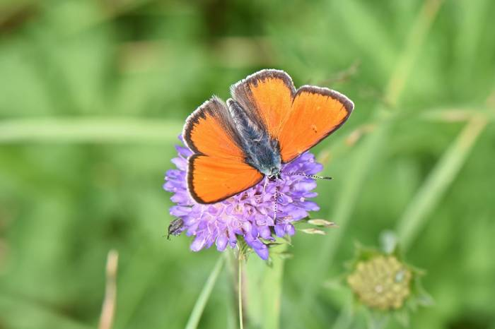 Purple-edged Copper (Lycaena hippothoe)