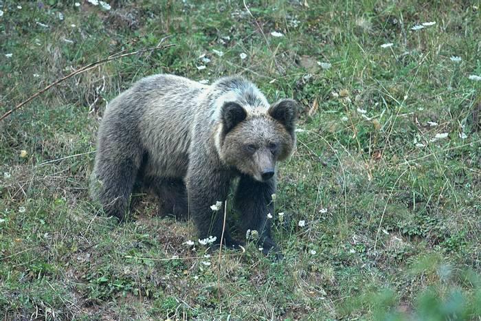 Cantabrian Brown Bear, Spain shutterstock_1138669409.jpg
