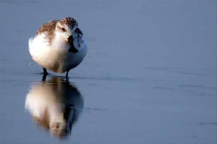 Spoon-billed Sandpiper (P. Komolphalin)