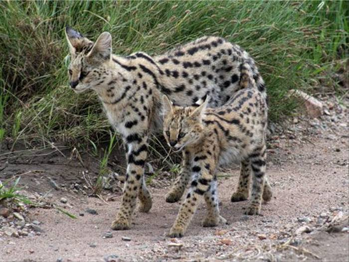 Serval and young (Barbara Lovell)