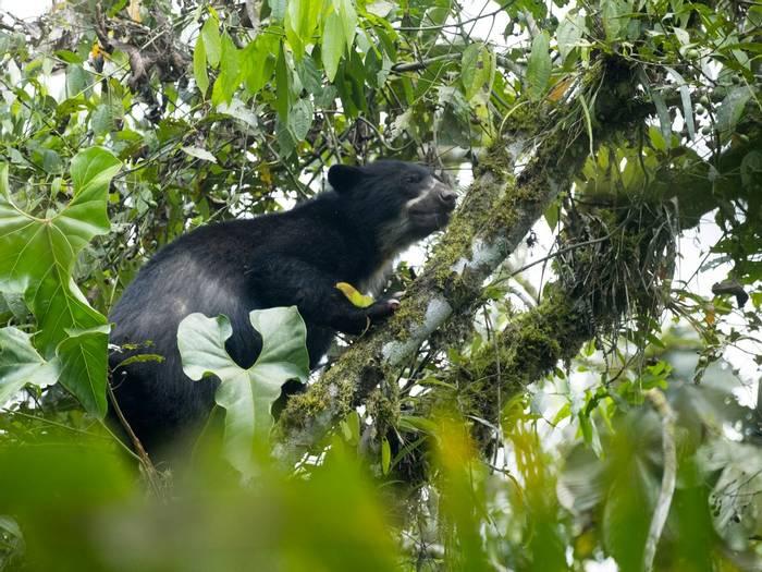 Spectacled Bear, Ecuador, Shutterstock 793124704