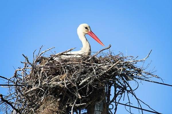 White Stork on nest (Ken Williams)