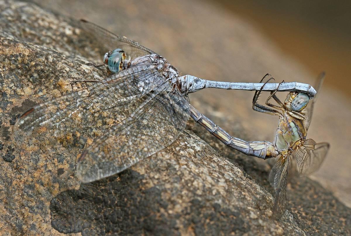 Epaulet Skimmers, Spain shutterstock_1362794450.jpg