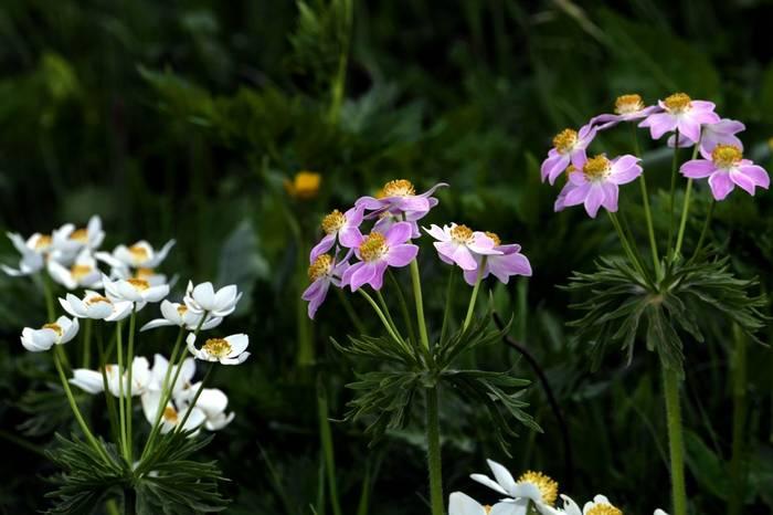 Anemone narcissiflora fasciculata by Clive Pickton