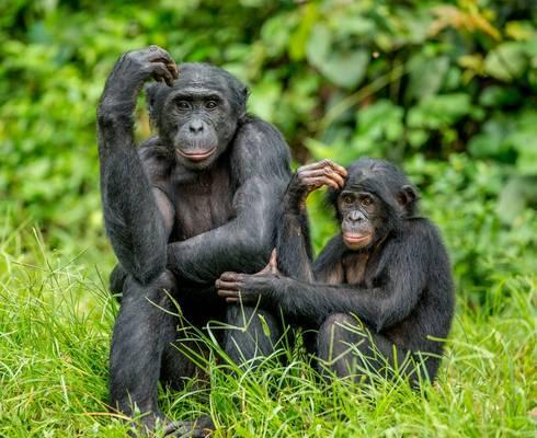 Bonobos, Congo shutterstock_1051536416.jpg