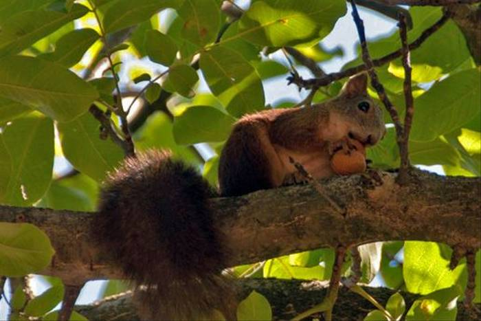 Red Squirrel (Jon Stokes)