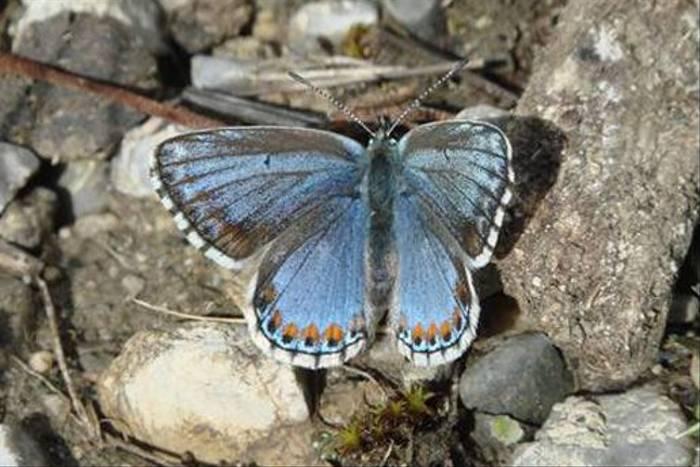 Chapman's Blue (female)