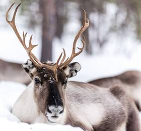 Reindeer farm visit and free evening