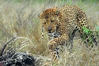 Leopard with Porcupine by Samantha Jones