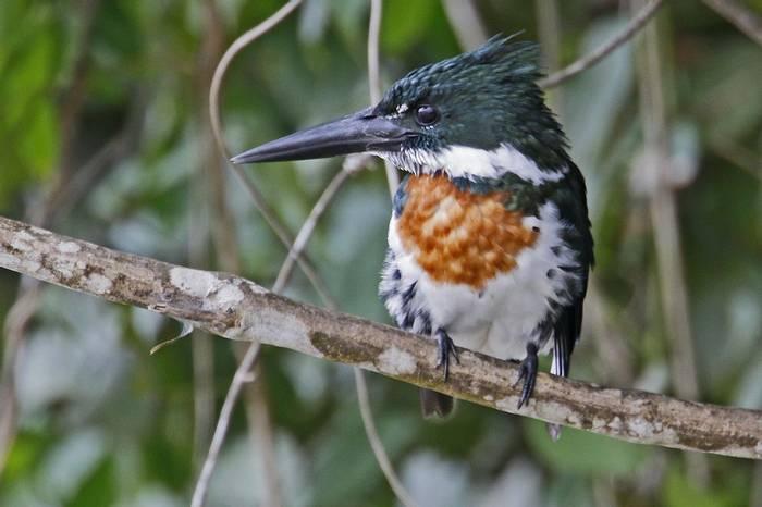 Amazon Kingfisher (Richard Smith)