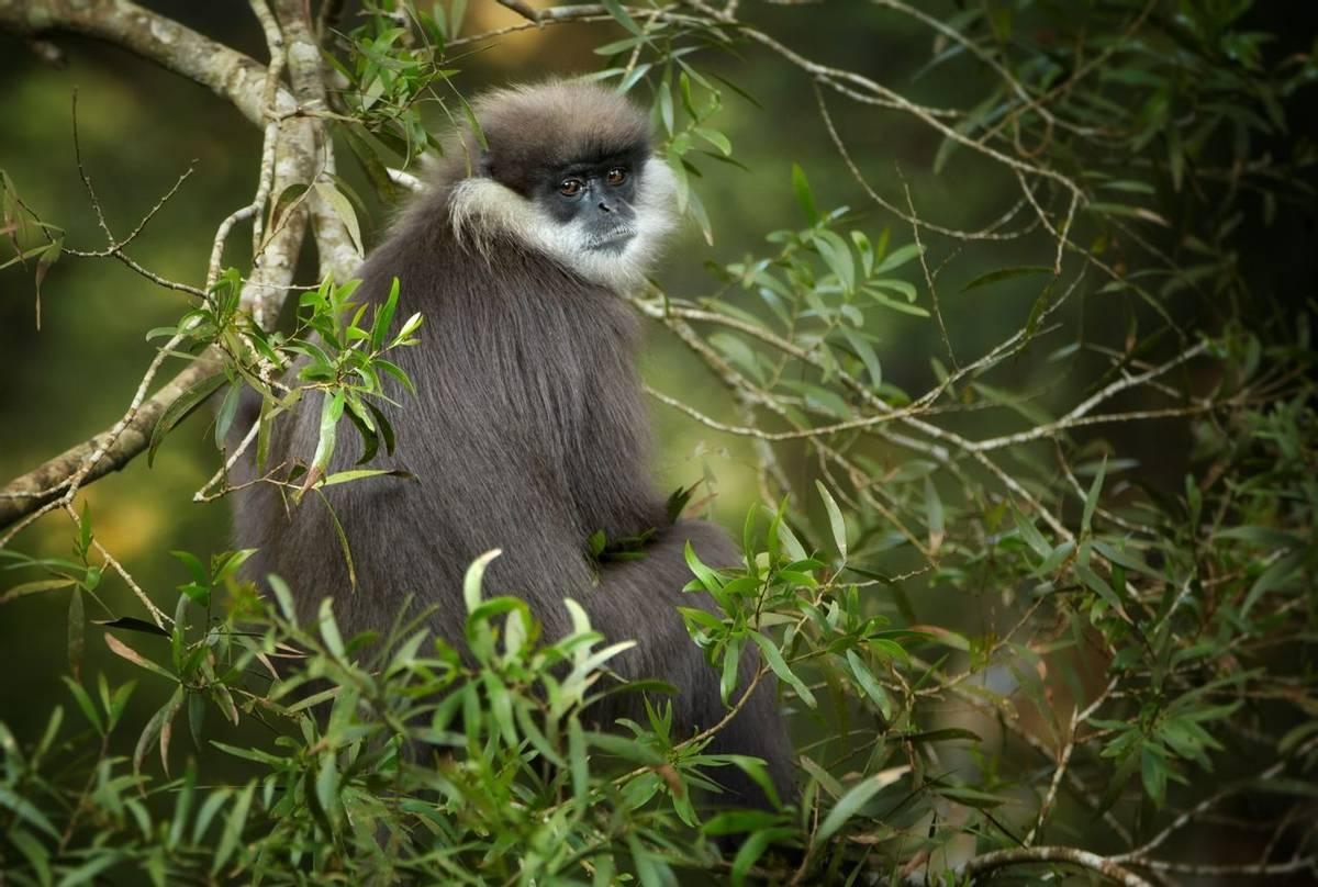 Purple Leaf Monkey, Sinharaja Rainforest, Sri Lanka shutterstock_372399211.jpg