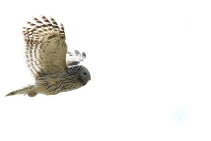 Ural Owl in flight (Daniel Green)