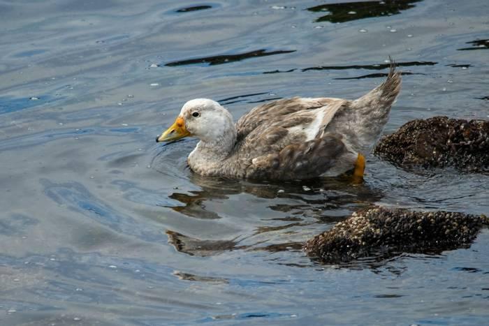 Chubut Steamer Duck, Argentina shutterstock_1645318162.jpg