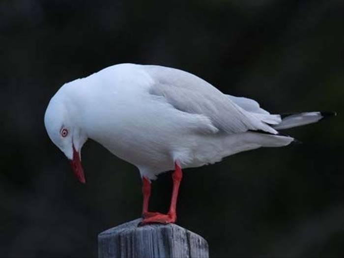 Silver Gull (Susan Jenkins)