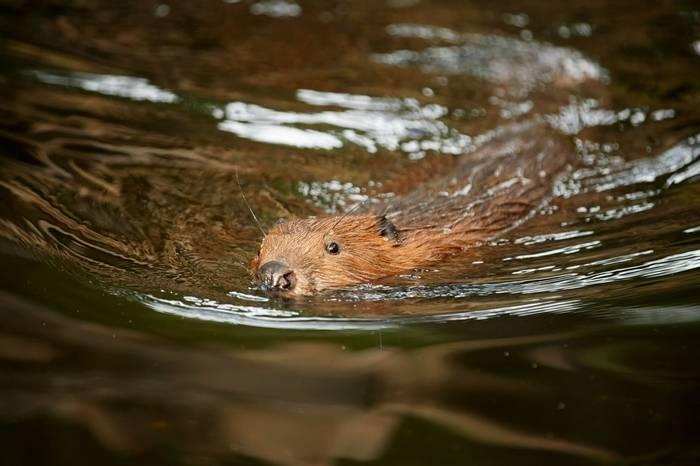 European Beaver Shutterstock 517871254
